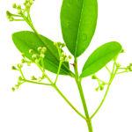 huile essentielle ravintsara massage