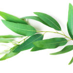 huile essentielle eucalyptus tonique