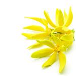 huile essentielle ylang ylang fatigue