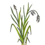 huile essentielle palmarosa déodorant