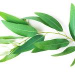 huile essentielle eucalyptus radié systeme immunitaire