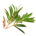 huile essentielle tea tree fatigue
